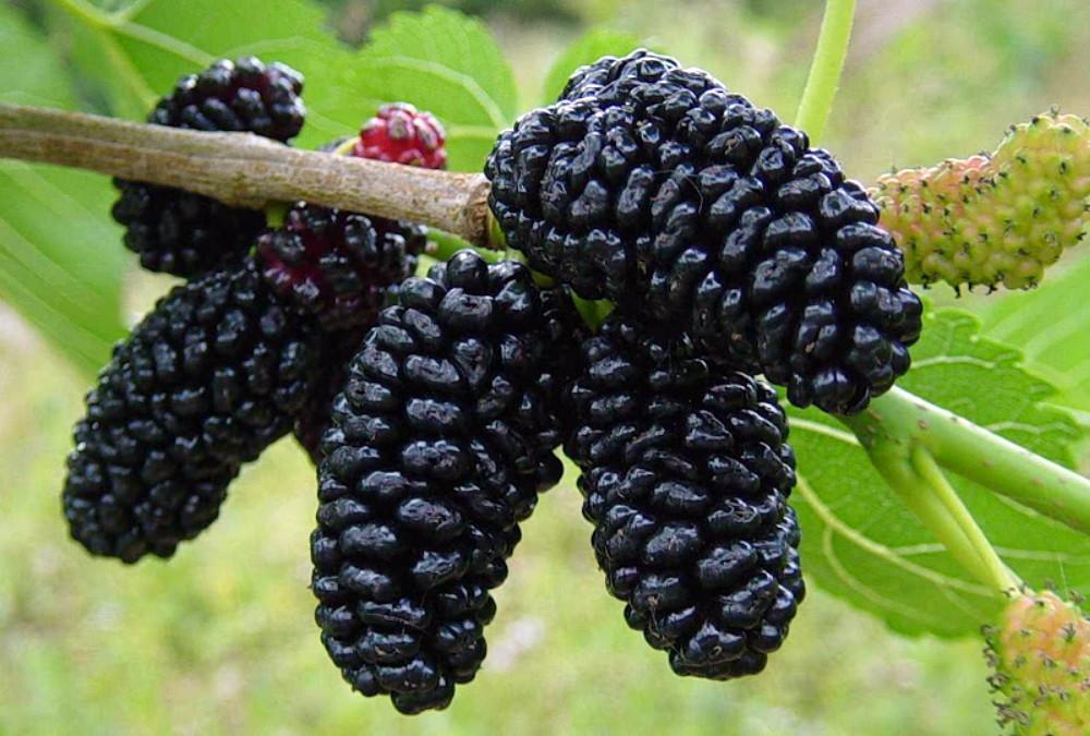 Полезные и вкусные плоды шелковицы