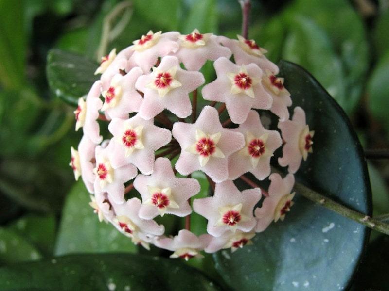Цветок восковик