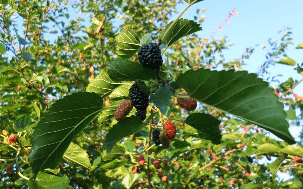 Сладкие плоды шелковицы