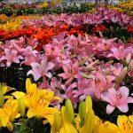 Фото 49: Сад в лилиях
