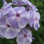 Фото 49: Нежно сиреневый цветок
