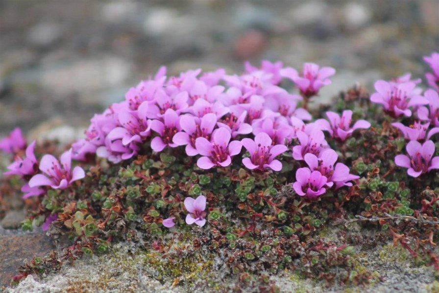 Садовый цветок камнеломка
