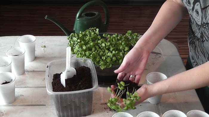 Подготовка рассады базилика к высаживанию в открытый грунт