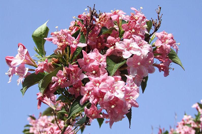 Роскошные цветы вейгела