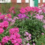 Фото 50: Многолетние цветы