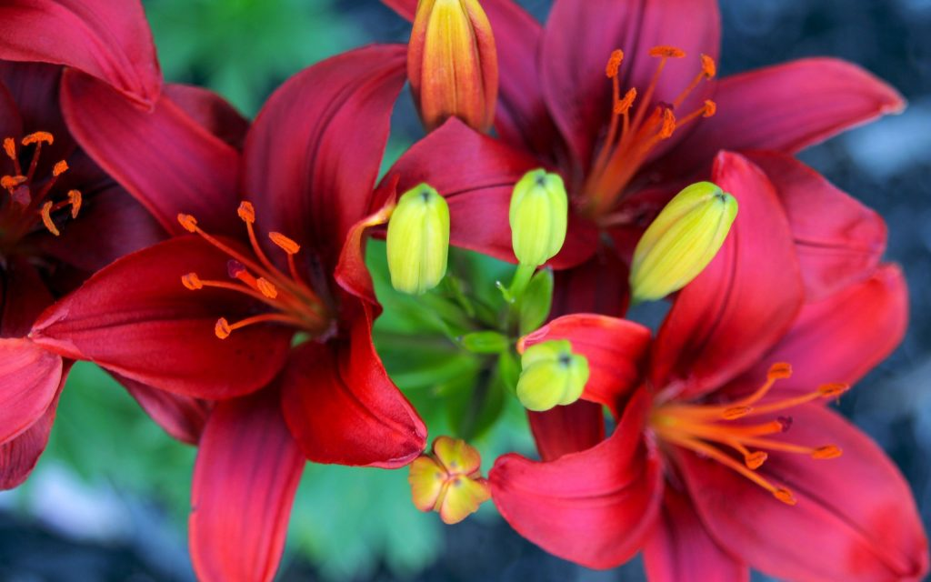 Садовые лилии