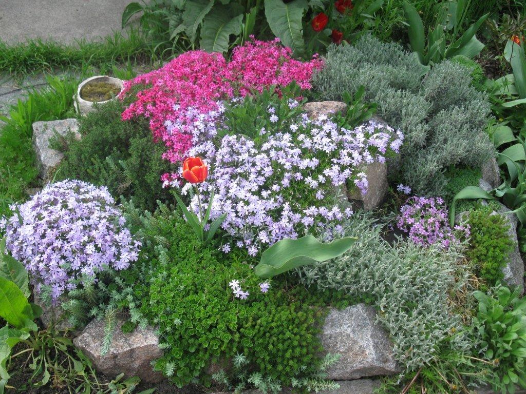 Цветущие многолетние флоксы
