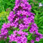 Фото 64: Цветущие шиловидные флоксы
