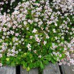 Фото 47: Нежное цветение камнеломки