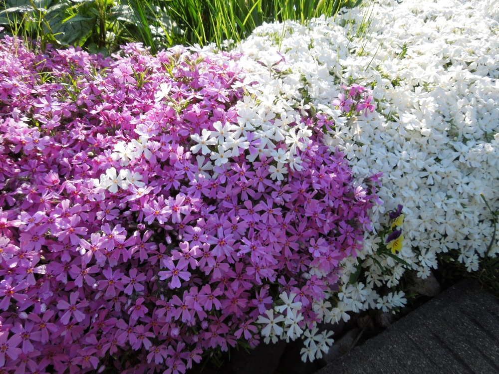 Цветение шиловидного флокса