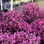 Фото 59: Розовая вейгела