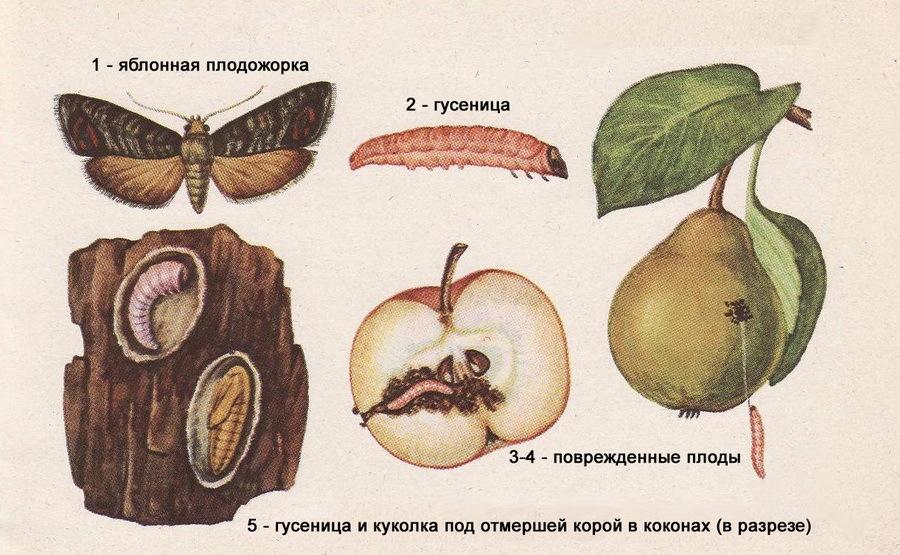 Как вредит яблоневая плодожорка