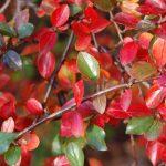 Фото 31: Осенний куст
