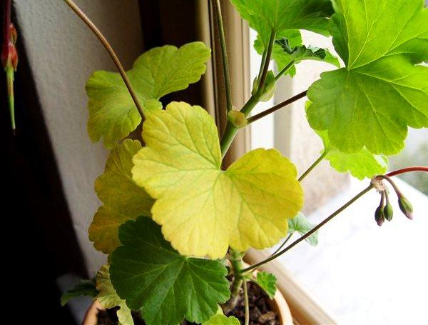 Как устранить желтение листьев