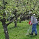 Фото 5: Удобрение дерева яблони
