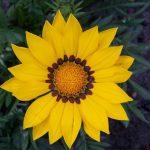 Фото 27: Желтая ромашка