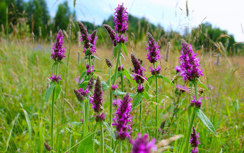 Душистая трава в поле