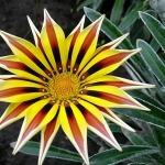 Фото 19: Цветок газания