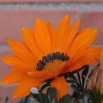 Фото 23: Оранжевый цвет цветка