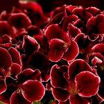 Фото 19: Бордовый цветок