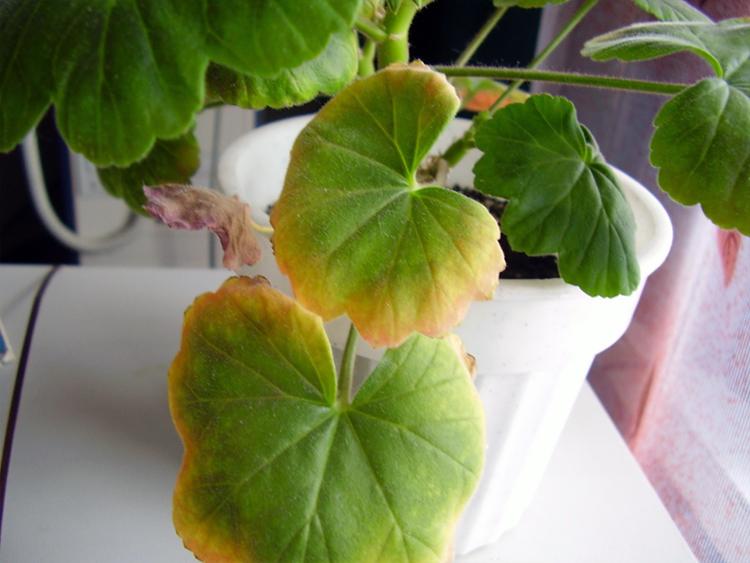 Почему желтеют листья у цветка