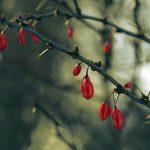 Фото 3: Ягоды кизила на ветке