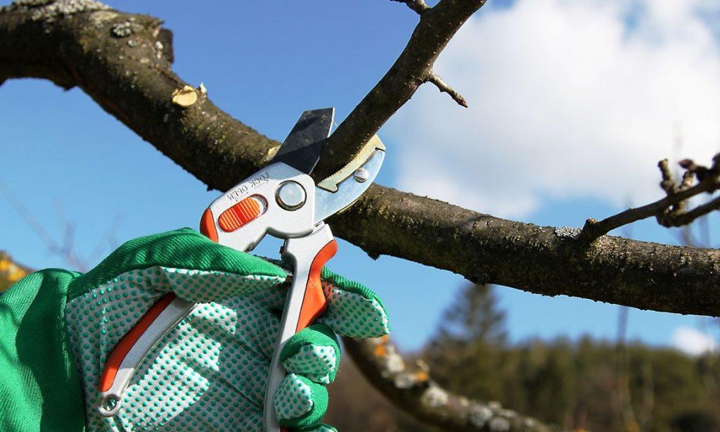 Как правильно обрезать грушу