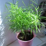 Фото 32: Аспарагус выращивание