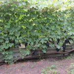 Фото 14: Виноградный кустик