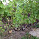 Фото 3: Виноградный куст фото