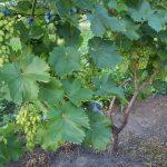 Фото 4: Виноградный куст