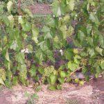 Фото 1: Виноград в огороде
