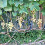 Фото 8: Виноград куст