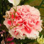 Фото 10: Гвоздика персиковая