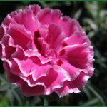 Фото 12: Гвоздика садовая в огороде