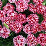 Фото 14: Гвоздика садовая многолетняя