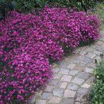 Фото 18: Гвоздика травянка в саду