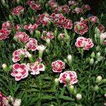 Фото 26: Гвоздики садовые