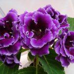 Фото 16: Глоксиния - домашний цветок
