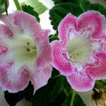 Фото 37: Глоксиния розовая