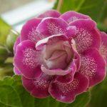 Фото 38: Глоксиния розовый цветок