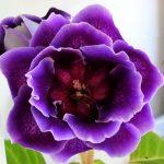 Фото 42: Глоксиния фиолетовая фото