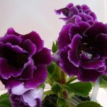 Фото 41: Глоксиния фиолетовая - цветок