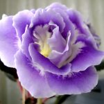 Фото 18: Глоксиния - цветок