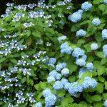 Фото 31: Гортензия метельчатая голубая