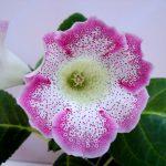 Фото 49: Диана цветок