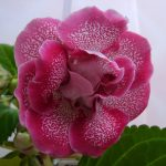 Фото 53: Комнатный цветок