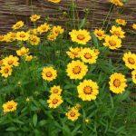Фото 31: Кореопсис жёлтый