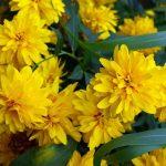 Фото 9: Кореопсис - жёлтый