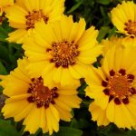 Фото 30: Кореопсис жёлтыё махровый